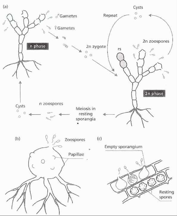 labeled diagram of amoeba