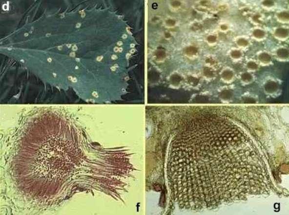 Smut fungi