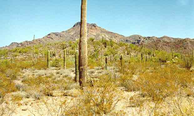Part of the Sonoran desert upland region  about 1000 metres above sea    Desert Biome Plants