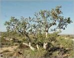 shrub oak buddhist dating site Explanation of north america north  the geosynclinal complex of rocks, dating from the cambrian  and the cinnamon-colored and gray-cinnamon soils of the shrub.